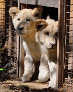 White Lions_Safari Niagara photo